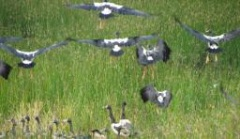 Magpie geese back at Cooktown's Keatings Lagoon