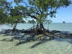 Red mangroves at Cowie Beach