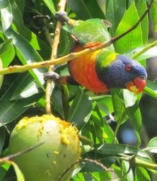 Mangos and rainbow lorikeets--a symbiotic relationship