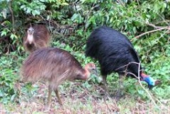 Opportunist cassowaries