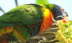 Rainbow lorikeets active and visible