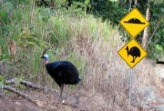 Cassowaries on cue