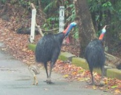 Cassowary couples