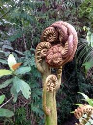 King of the ferns unfurls fiddleback